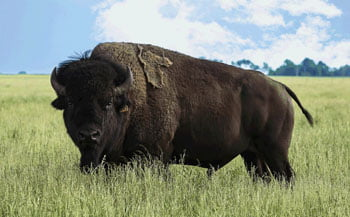 Bison is Big in New Rockford, ND